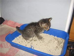 Как можно приучить котенка к лотку