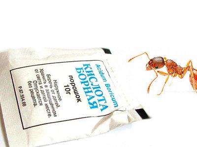 Уничтожение муравьев борной кислотой
