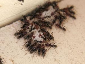 Борьба с муравьями в квартире