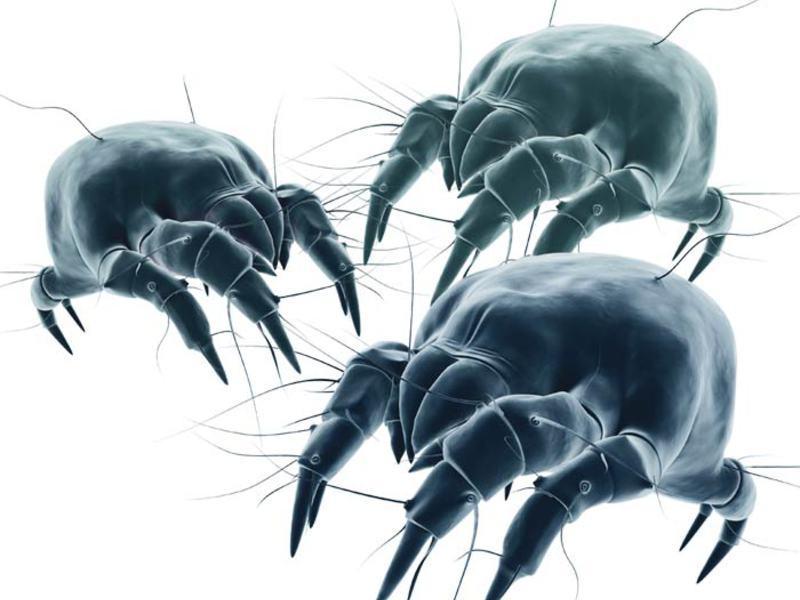 Пылевые клещи как избавиться в домашних условиях
