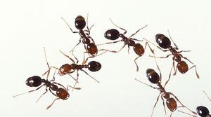 Домашние муравьи в квартире: как выводить и как избежать