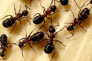 Домашние муравьи в квартире: причины их появления, способы борьбы с ними и профилактические меры