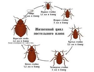 Постельные клещи и клопы - насекомые, от которых сложно избавиться
